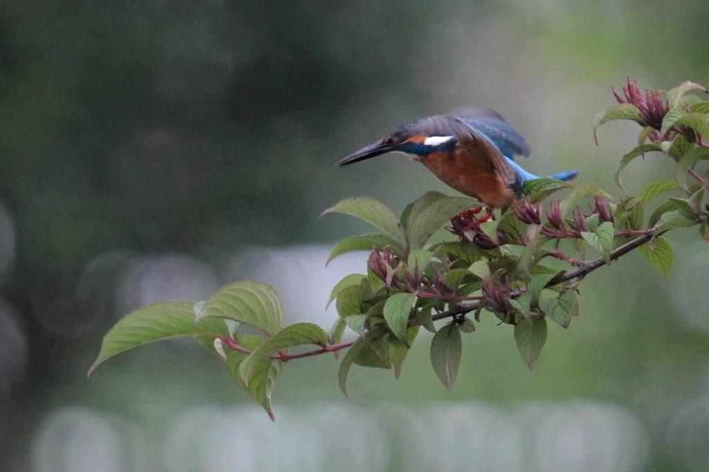 公園の池に新住人(鳥)/動画・羽繕いするアマサギ_b0024798_545285.jpg