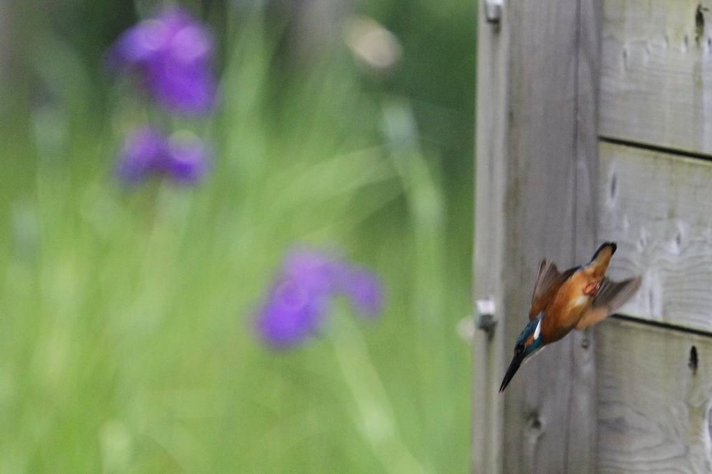 公園の池に新住人(鳥)/動画・羽繕いするアマサギ_b0024798_553394.jpg
