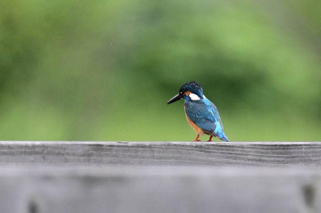 公園の池に新住人(鳥)/動画・羽繕いするアマサギ_b0024798_55914.jpg