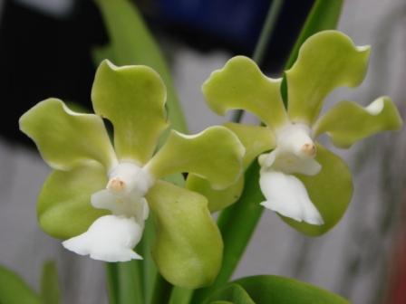 V.tesselata f.alba(テッセラータ ・アルバ)_d0007501_316481.jpg