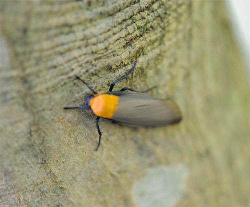 ホタルに見間違えましたがゴキブリみたいな翅をしているので‥_b0025008_21533064.jpg