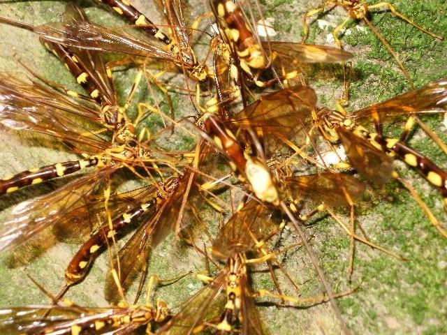 蜂の様な、でも尻尾が異状に長い虫_b0025008_2261843.jpg
