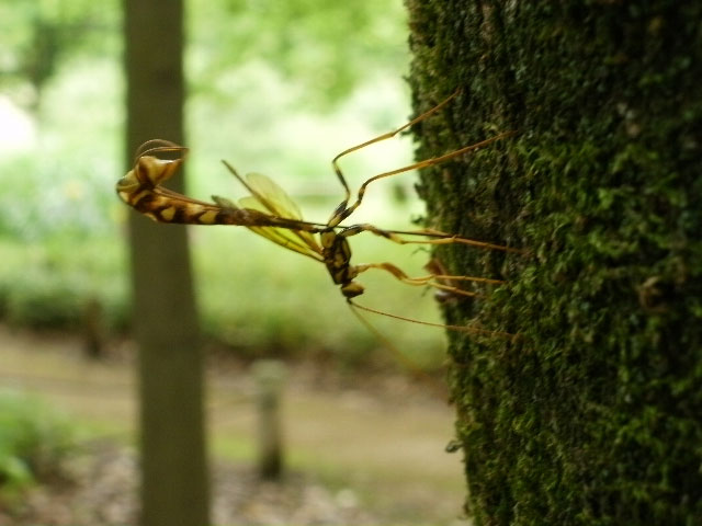 蜂の様な、でも尻尾が異状に長い虫_b0025008_2263257.jpg