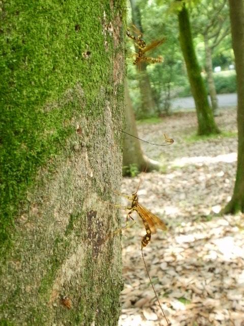 蜂の様な、でも尻尾が異状に長い虫_b0025008_2265781.jpg