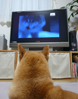 テレビ番組「オオカミの生きる道」に見入る犬_d0020309_2213181.jpg