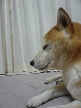 テレビ番組「オオカミの生きる道」に見入る犬_d0020309_22141239.jpg