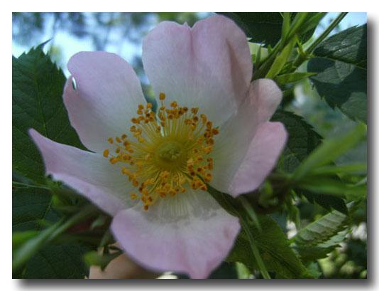 グリンデルの庭の開花報告でございます_d0109415_16471057.jpg