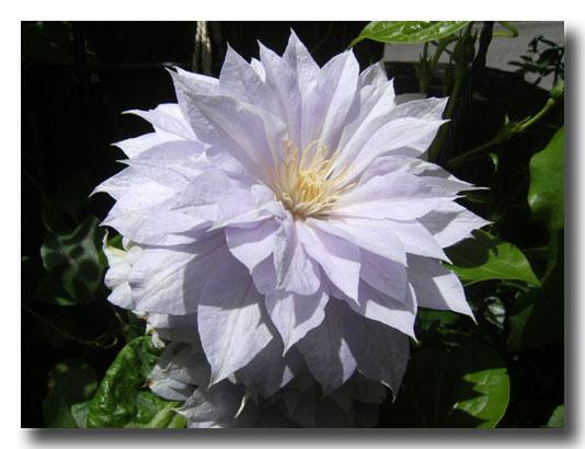 グリンデルの庭の開花報告でございます_d0109415_16475951.jpg