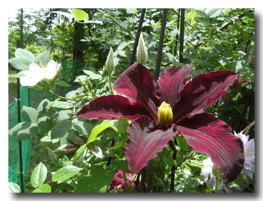 グリンデルの庭の開花報告でございます_d0109415_16485592.jpg