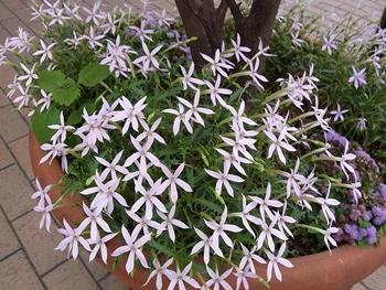 グランベリーモールの花