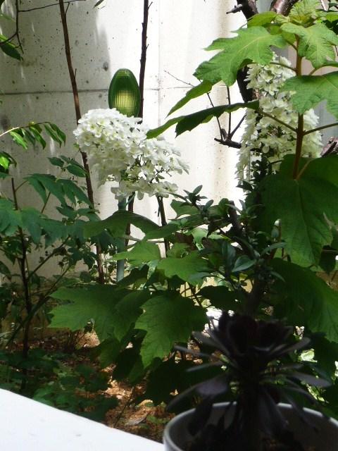 中庭のアジサイ 咲きました~_b0151262_22291947.jpg