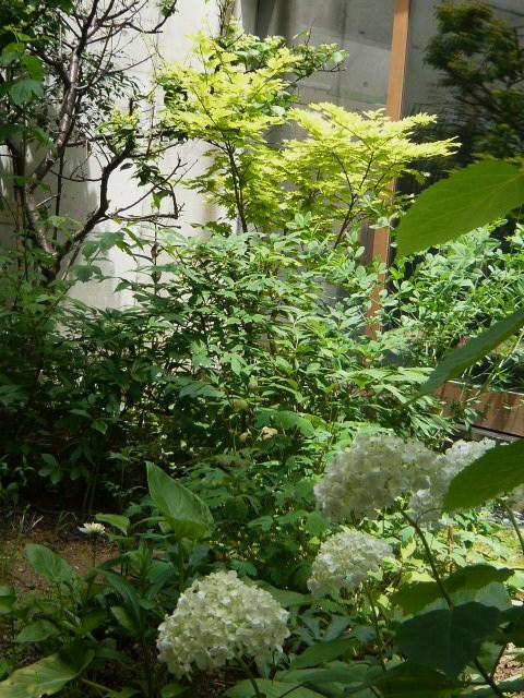 中庭のアジサイ 咲きました~_b0151262_2233872.jpg
