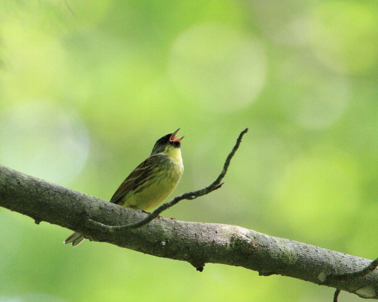 エゾフクロウの森で出遭った小鳥達_f0105570_22511822.jpg