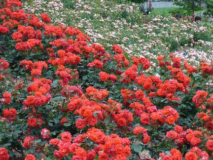 百万本の薔薇を ・・・_b0102572_2317566.jpg
