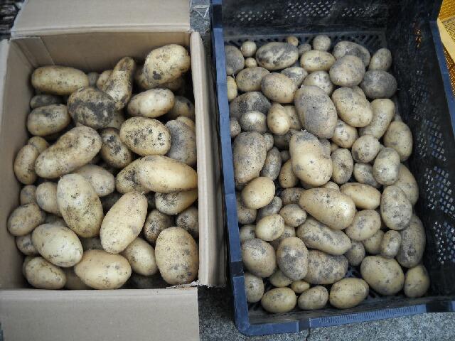 ジャガイモの新品種「デフラ」の収穫と自家製ポテトサラダ_f0018078_1941555.jpg