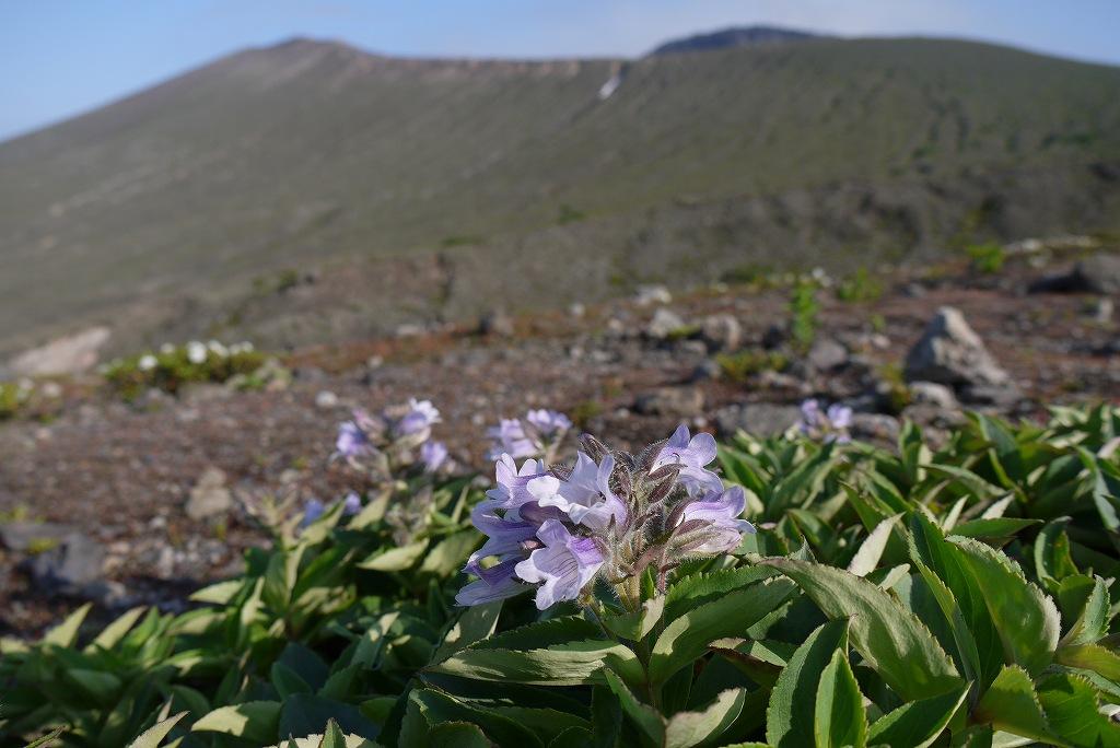 6月22日、樽前山の花-タルマエソウ(イワブクロウ)-_f0138096_9391798.jpg