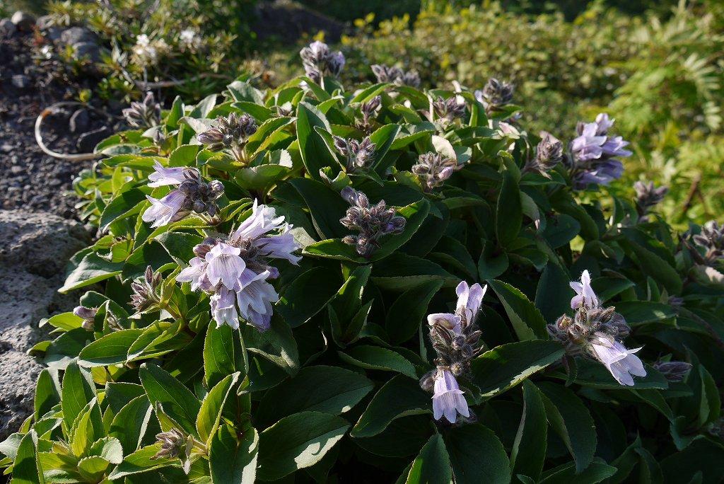 6月22日、樽前山の花-タルマエソウ(イワブクロウ)-_f0138096_939565.jpg