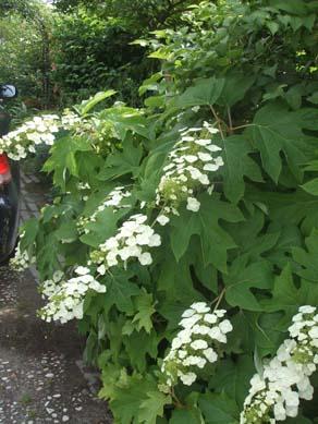 ワ~ズワ~スの庭 紫陽花が見頃です_e0187897_19474733.jpg