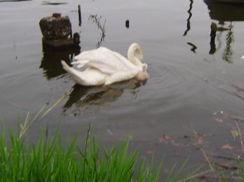 手賀沼の白鳥と雛_c0167560_920474.jpg