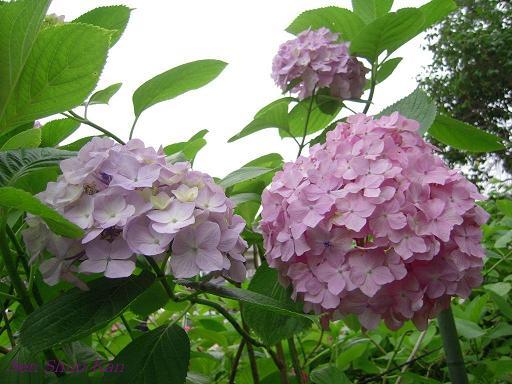 藤森神社の紫陽花(その3)_a0164068_16251280.jpg