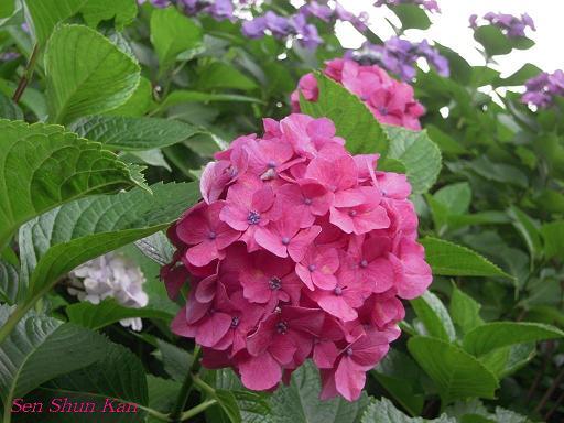 藤森神社の紫陽花(その3)_a0164068_16254970.jpg