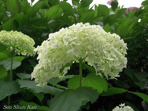 藤森神社の紫陽花(その3)_a0164068_16261387.jpg