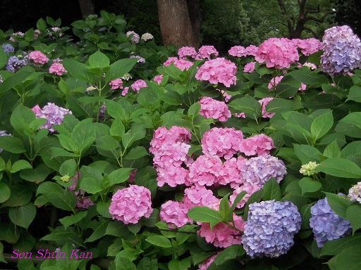 藤森神社の紫陽花(その3)_a0164068_1636393.jpg