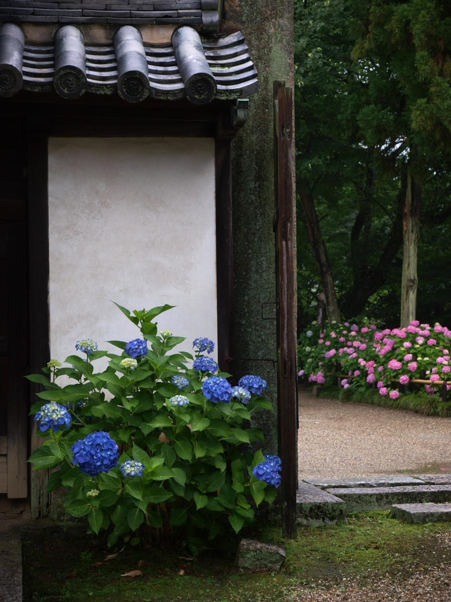 奈良 矢田寺 紫陽花 3_f0021869_22413939.jpg