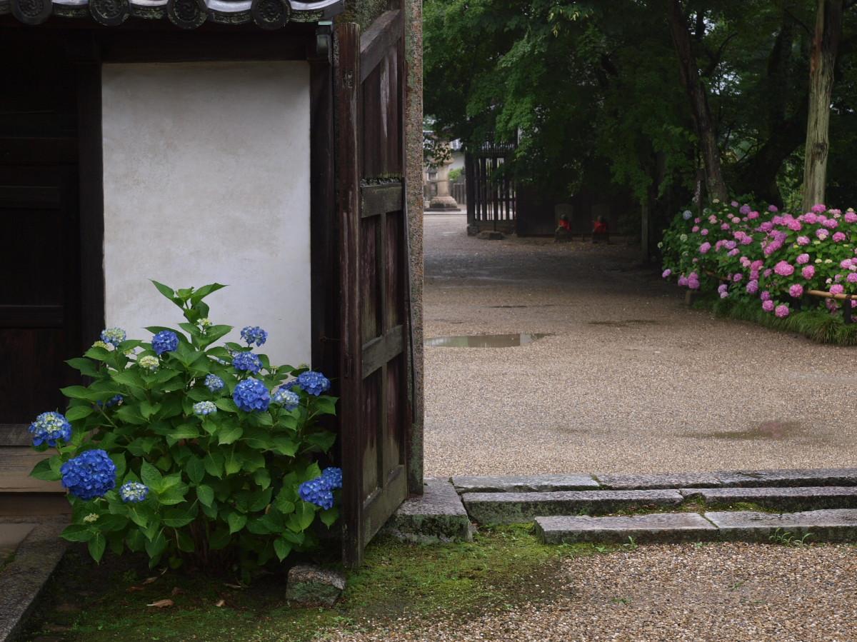 奈良 矢田寺 紫陽花 3_f0021869_2244103.jpg