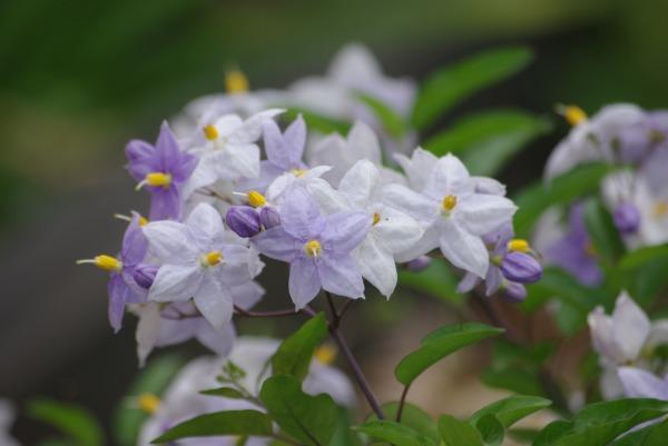 紫陽花も終わりに・・・_d0147812_13383179.jpg