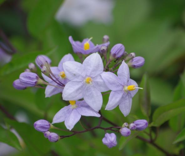 紫陽花も終わりに・・・_d0147812_1338618.jpg