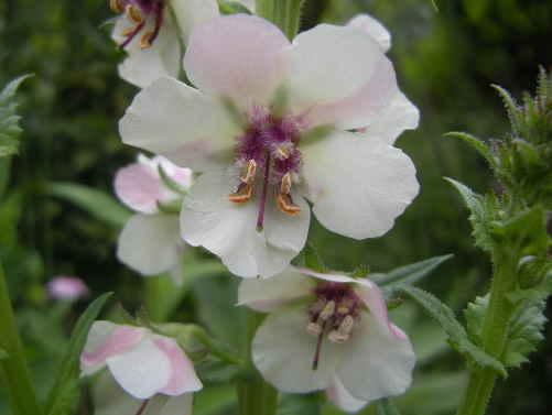 待ちに待った バーバスカム が 咲きました~_d0145675_18415232.jpg