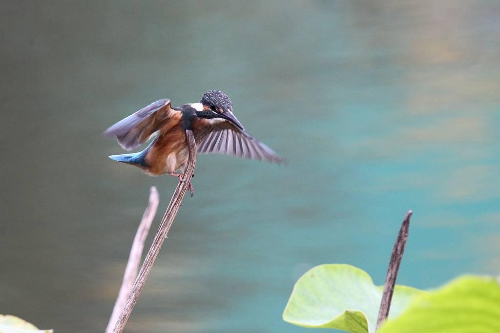 飛び交うカワセミの幼鳥/水鏡・マガモ/動画・ホシゴイ_b0024798_65511.jpg