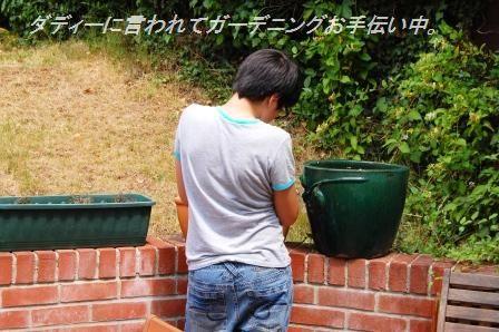 プチトマトのしそ生姜風味マリネ☆_d0104926_523938.jpg