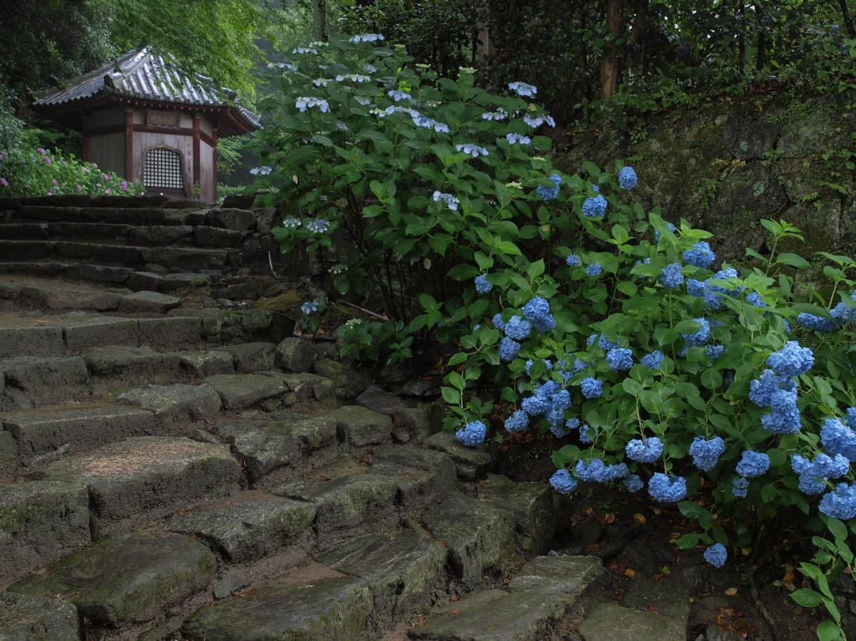 奈良 矢田寺 紫陽花 4_f0021869_2142634.jpg