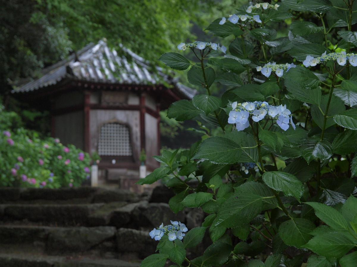 奈良 矢田寺 紫陽花 4_f0021869_2144975.jpg