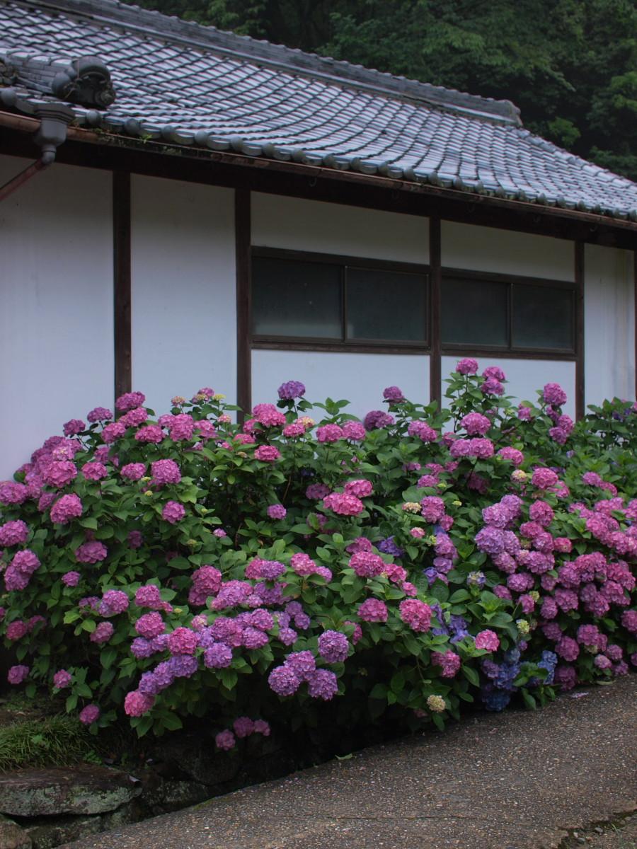 奈良 矢田寺 紫陽花 4_f0021869_2243291.jpg
