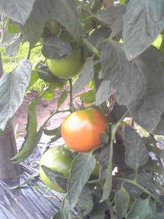 トマトとズッキーニ_a0138985_21453220.jpg