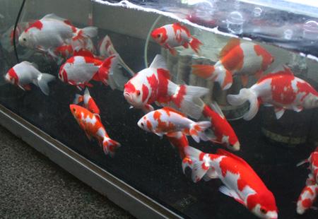 金魚の新入荷です!(後編)_c0165800_23113682.jpg