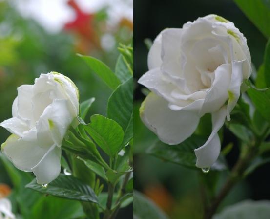 夏の花 続々とお目見え_d0147812_20132060.jpg