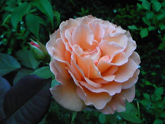 加齢な花!_d0165645_8312285.jpg
