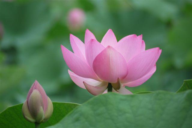 古代ロマンを感じる花、大賀ハス_b0175688_13182773.jpg