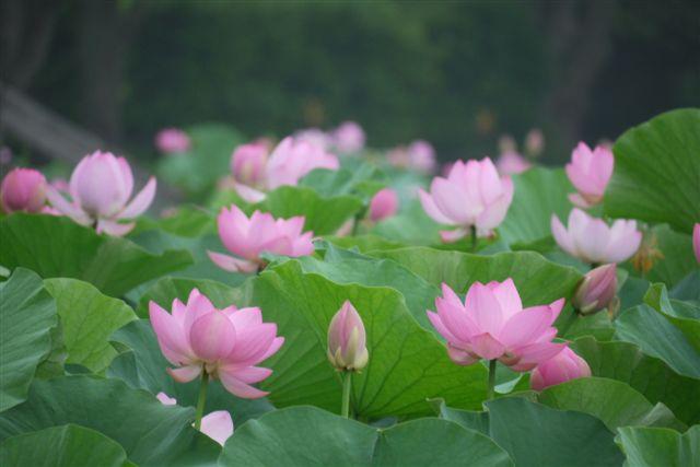 古代ロマンを感じる花、大賀ハス_b0175688_13183576.jpg