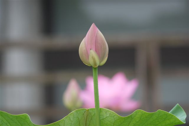 古代ロマンを感じる花、大賀ハス_b0175688_13184570.jpg