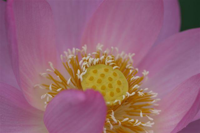 古代ロマンを感じる花、大賀ハス_b0175688_13192072.jpg