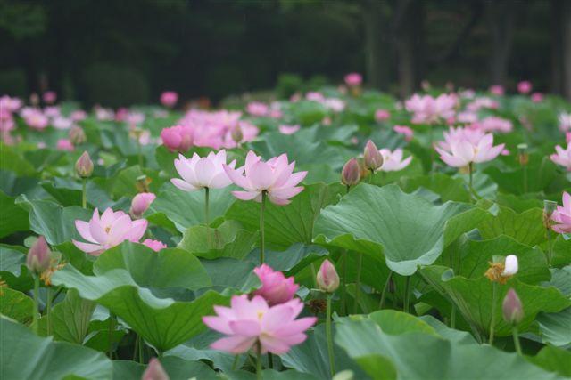 古代ロマンを感じる花、大賀ハス_b0175688_1321329.jpg