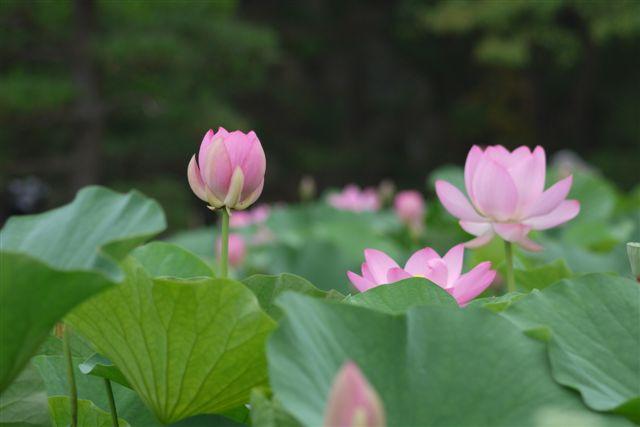 古代ロマンを感じる花、大賀ハス_b0175688_132807.jpg