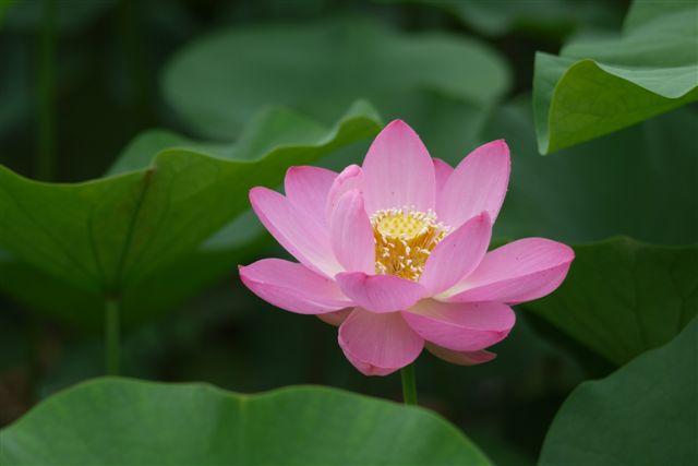古代ロマンを感じる花、大賀ハス_b0175688_13291862.jpg