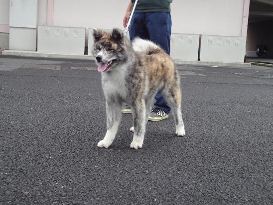 秋田犬の展覧会_b0124462_8205219.jpg