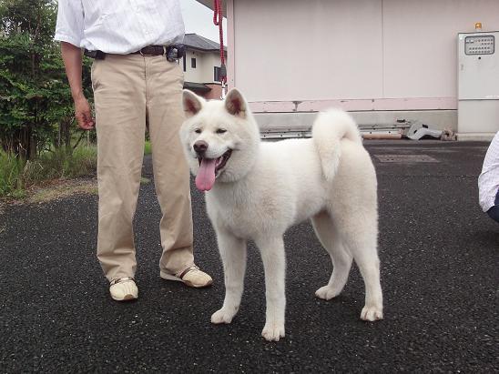 秋田犬の展覧会_b0124462_8254493.jpg